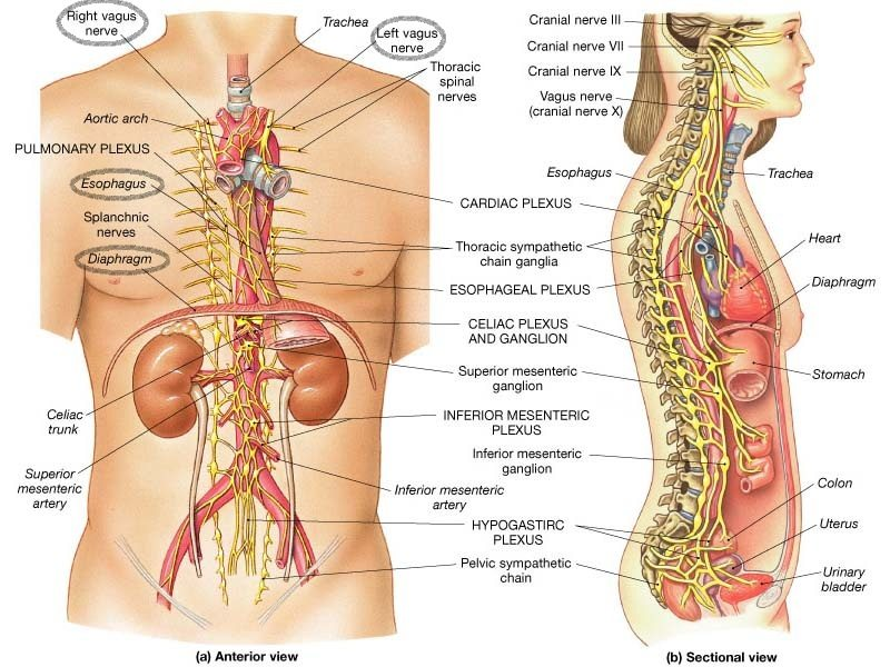 Hiatal hernia and vagus nerve